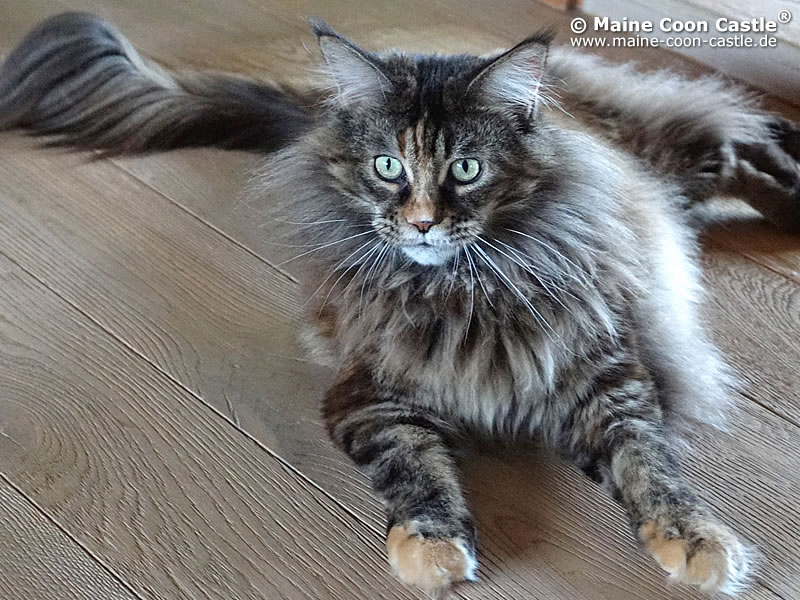 Maine Coon Cat Pictures and Videos