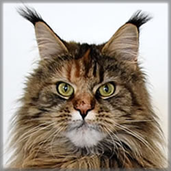 Polly of Maine Coon Castle