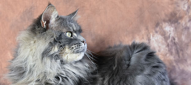 Buddy of Maine Coon Castle 4 Jahre alt