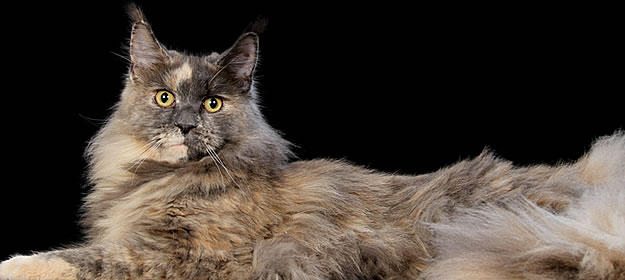 Yoko of Maine Coon Castle