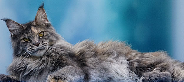 Zita of Maine Coon Castle